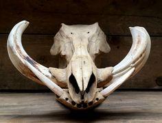 Antieke schedel van een kapitaal wrattenzwijn met grote tanden - 01 Nieuw Binnen - de Jachtkamer