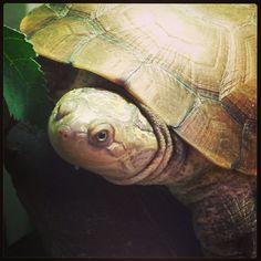 Mud turtle at Northampton Reptile Centre