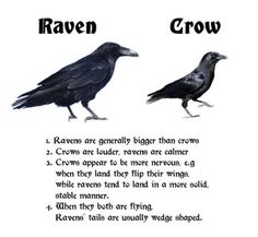 Raven and crows Animals And Pets, Funny Animals, Cute Animals, Animal Facts, Animal Memes, Crow Facts, Weird Facts, Fun Facts, Beautiful Birds