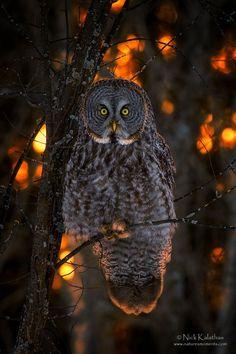 Great grey owl in sunset light - Nick Kalathas