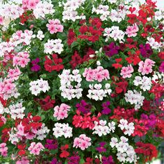 Image result for trailing geranium