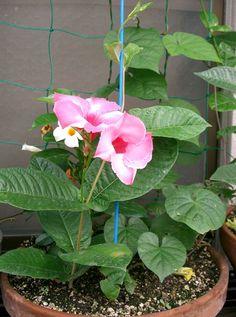 Dipladênia - Imagens de Flores  http://www.imagensdeflores.com