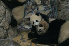 kuromimi64 Rau Hin and 5-month-old Cubs 2011-01-31
