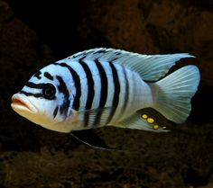 African Cichlid                                                                                                                                                                                 More