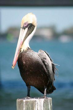 Local bird on AMI the Pelican