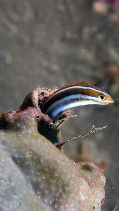 Tube-worm Blenny <3