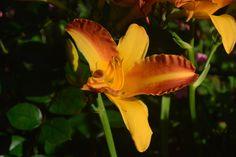 Frans Hals  lilja
