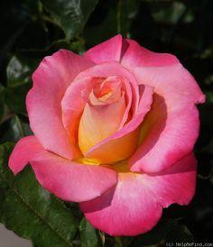 Granada Rose. Hybrid Tea.  4-6' Beautiful-and fragrant too!