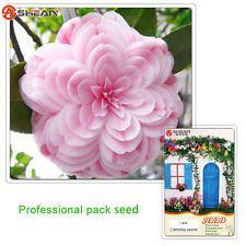 1 Pcs Rare Camellia Seed, Japanese Camellia Bonsai Tree Plant Flower Seeds
