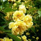 My Mum's Rose....