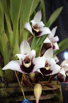 Sander's Maxillaria (Maxillaria sanderiana)