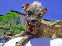 Crestado Chino / Chinese Crested (Oficialmente el perro mas feo del mundo)