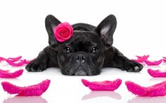 Happy Valentine's Day! - rose, petals, black, pink, cute, animal