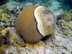 a dying brain coral