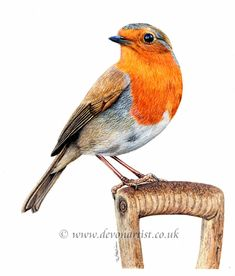 Fine detailed watercolour painting of a robin. Always the gardener's friend and featured in this painting in such a classic pose. it is always amazing how quickly they find a new perch and also how quickly they join you as you pull up a few weeds. Wildlife Paintings, Animal Paintings, Paintings Of Birds, Love Painting, Painting & Drawing, Watercolor Bird, Watercolor Paintings, Loro Animal, Robin Drawing