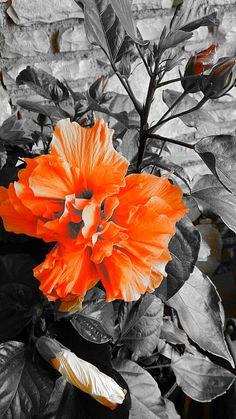 Orange ibiscus through the lens of my new Sony Xperia Z