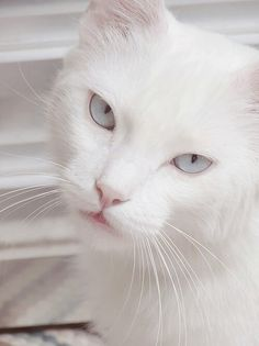 White cat with powder blue eyes. Love Pet, I Love Cats, Cool Cats, White And Black Cat, White Cats, Pretty Cats, Beautiful Cats, Animals And Pets, Cute Animals
