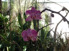 Minha orquídea!