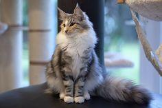 Elevage de chats des forets norvegiennes - Chatons norvégiens en aquitaine - skogkatt - norwegian forest cats breeding in France
