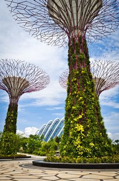 """Supertree Grove, Singapore, is a forest of mechanical solar-powered tree structures which are part of Singapore's """"Gardens by the Bay"""" redevelopment project. These metal-framed structures are vertical gardens, 18 in total, ranging in height from 82 to 164 feet tall. There is a restaurant found at the top of the main Supertree. At night there is a sound & light show in the gardens. Photography by Pete Hottelet"""