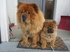 Cute Mother Chow Chow Dog with her Puppy - Adorable!