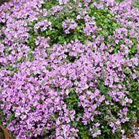 Thyme minimus: Thymus serpyllum 'Minimus'