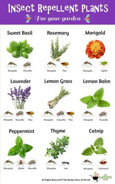 Insect Repellent Plants - Plant Magic - Go away the insects #insectrepellant #sweetbasil #rosemary #marigold #lavender #lemongrass #lemonbalm #peppermint #thyme #catnip