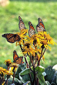 Butterflies Photograph - Butterfly Garden by Beckie Amidon Austin Butterfly Park, Splash Pad, Attic, Butterflies, Friendship, Photograph, Walking, Cottage, Birds