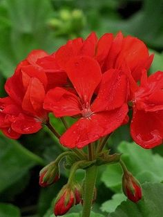 Geranium 'Patriot Bright Red' zonal