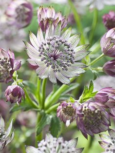 Astrantia Superstar (syn 'White Giant') - The large, greenish-white flowerheads look like pincushions surrounded by a spidery ruff of green-tinted, white bracts. These are produced en masse above the lobed, dark green leaves from early summer to autumn ad Shade Garden, Garden Plants, Summer Flowers, White Flowers, Beautiful Gardens, Beautiful Flowers, Garden Borders, White Gardens, Dream Garden