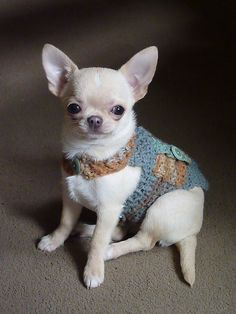 Image result for chihuahua in a jacket