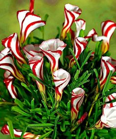 Egrow Oxalis Versicolor Candy Cane Sorrel Seeds Rare Flowers Seeds for Home Garden Plants Unusual Flowers, Unusual Plants, Rare Flowers, Amazing Flowers, Pretty Flowers, White Flowers, Lilies Flowers, Calla Lilies, Spring Flowers
