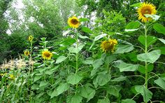 Make a perfect sunflower house or fort.    Photo by Oakley Originals under the Creative Commons Attribution License 2.0.Click To Enlarge