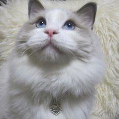 Lucien . . たまには 可愛く写った愛猫を〜 . 普段、なかなか 撮らせてくれない子なので 悲しいかな良い写真が ほとんど無いのですぅ⤵︎⤵︎⤵︎ . なので過去picなのですが〜 . そんな彼の胸に輝く お気に入りの素敵なTAGが (初めて迎えたお誕生日の時のプレゼントだよ) 汚れてきたので . お天気の悪かった今日(6/13)は 録画してあるドラマを眺めながら 愛猫のTAG磨きをして 過ごしましたとさ . . . #ragdoll #ragdollcat #ragdolllove  #cat #geodesique #pairtag #catcollar #silver950 #citrine #firstbirthdaypresent #birthdaypresent #birthdaystone  #ラグドール #ラグドールキャット  #ラグドールらぶ #猫 #ねこ#ネコ #愛猫 #ジィオデシック #ペアタグ #首輪 #シルバー950 #シトリン #初めてのお誕生日プレゼント  #お誕生日プレゼント #誕生石