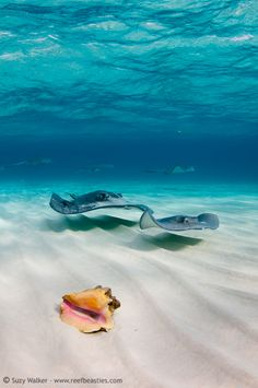 Stingrays <3   my spirit animal. i'd go back and live with the Belizean rays forever...