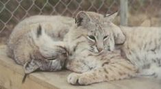 Hybrids Cats - Blynx (or Lynxcat).  These two in the photo look very sweet....  Hybrid between a bobcat and a lynx.