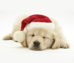 Golden Retriever Christmas Puppy