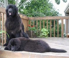 Silly Dogs, Cute Dogs And Puppies, Big Dogs, Cutest Dogs, Giant Dog Breeds, Large Dog Breeds, Dog Breeds Pictures, Newfoundland Puppies, Labrador Retriever Dog