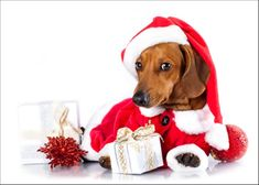 dachshund dog wearing a santa hat in white background