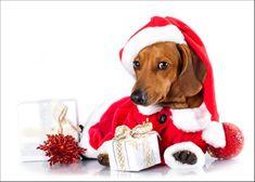 dachshund dog wearing a santa hat in white background