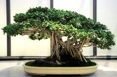 I always love the Ficus bonsai