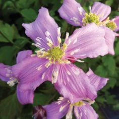 Clematis montana 'Continuity' - Clematis Plants - Thompson & Morgan