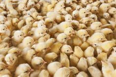 Many Baby Chicks Background - Stock Photo , Baby Chicks, Black Eyed Peas, Birds In Flight, Flyer Design, Stock Photos, Image, Chicken, Flying Birds