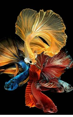 Betta Fish Types, Betta Fish Tank, Beautiful Tropical Fish, Beautiful Fish, Beautiful Sea Creatures, Animals Beautiful, Goldfish Wallpaper, Koi Painting, Pretty Fish