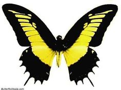 Black and yellow butterfly.