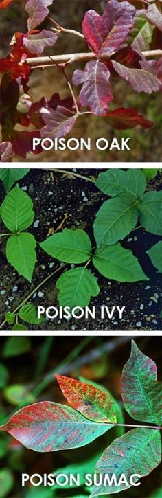 A few poisonous plants to watch out for when #Camping   Top 33 Most Creative Camping DIY Projects and Clever Ideas - DIY & Crafts