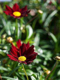 Coreopsis 'Mercury Rising' : early summer perennial perfect for full sun driveway beds nod back fence beds