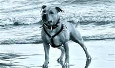 il mare e io! Bull Terrier, Pitbulls, Dogs, Animals, Animales, Pit Bulls, Animaux, Pet Dogs, Pitbull