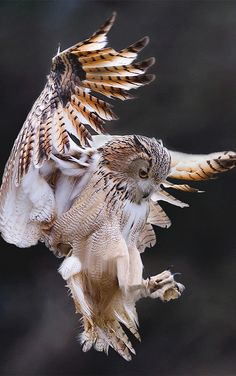 Owl in flight..