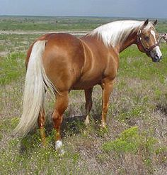 palomino stock horse